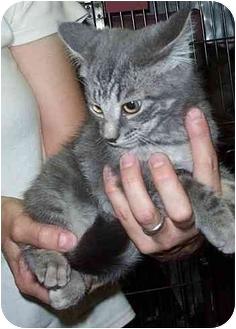 Maine Coon Kitten for adoption in Randolph, New Jersey - Teddie