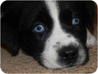 Husky Mix Puppy for adoption in Salem, New Hampshire - Berry