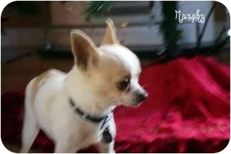 Chihuahua Dog for adoption in Los Angeles, California - Murphy