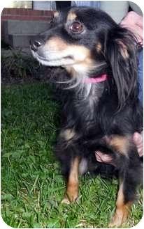 Dachshund Mix Dog for adoption in Franklin, West Virginia - Tessa