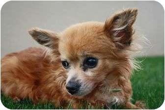 Papillon/Chihuahua Mix Dog for adoption in Encino, California - Sugar