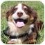 Photo 1 - Australian Shepherd Mix Puppy for adoption in Foster, Rhode Island - Ivy