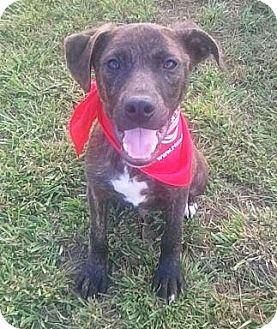 Labrador Retriever/Catahoula Leopard Dog Mix Puppy for adoption in Whitakers, North Carolina - ChaCo