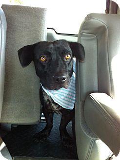 Corgi/Basset Hound Mix Dog for adoption in Homestead, Florida - Marky Mark