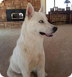 Siberian Husky Dog for adoption in Apple valley, California - Eve