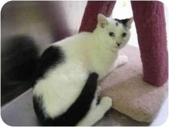 Domestic Shorthair Cat for adoption in Pickering, Ontario - Scoop