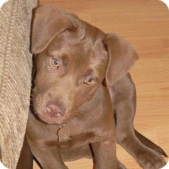 Labrador Retriever Mix Puppy for adoption in Houston, Texas - Milo