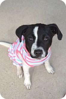 Border Collie Mix Dog for adoption in Corpus Christi, Texas - Journey