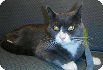 Domestic Shorthair Cat for adoption in Jackson, Michigan - Jack