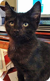 Domestic Shorthair Kitten for adoption in Carlisle, Pennsylvania - Gunther