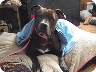 American Pit Bull Terrier Mix Dog for adoption in Rexford, New York - Miley