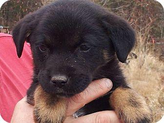 Labrador Retriever/Beauceron Mix Puppy for adoption in Pawling, New York - Jack