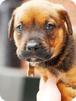 Shepherd (Unknown Type)/Boxer Mix Puppy for adoption in Detroit, Michigan - Jerry-Adopted!