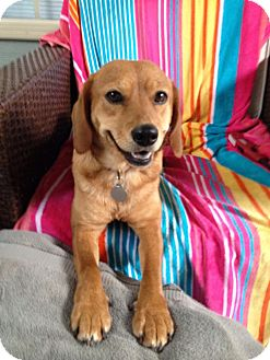 Beagle/Labrador Retriever Mix Dog for adoption in Chattanooga, Tennessee - Ginger