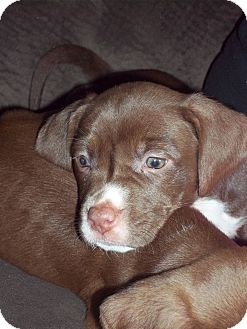 Labrador Retriever/Springer Spaniel Mix Puppy for adoption in MILWAUKEE, Wisconsin - ANNABELLE