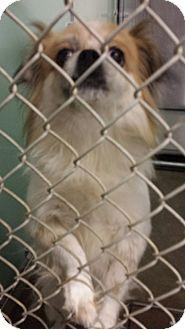 Pekingese Mix Dog for adoption in Sauk Rapids, Minnesota - Lita