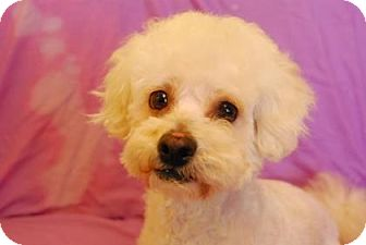Bichon Frise/Poodle (Miniature) Mix Dog for adoption in Philadelphia, Pennsylvania - Mushi