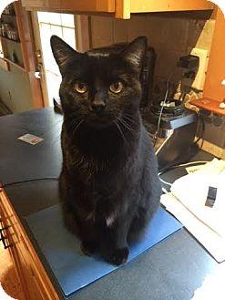 Domestic Shorthair Cat for adoption in Acushnet, Massachusetts - Bella