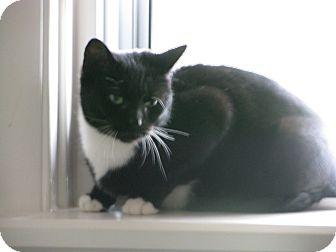 Domestic Shorthair Cat for adoption in Glen Mills, Pennsylvania - Josie