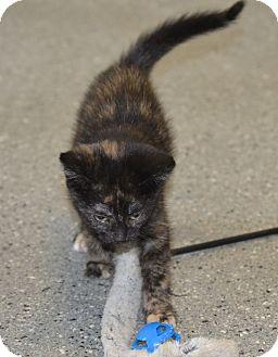 Domestic Shorthair Kitten for adoption in Michigan City, Indiana - Mia