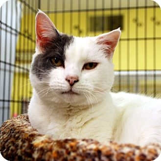 Domestic Shorthair Cat for adoption in Hayden, Idaho - Chica