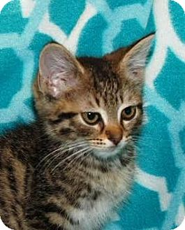 Domestic Shorthair Kitten for adoption in Walworth, New York - Sparky