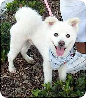 American Eskimo Dog/Spitz (Unknown Type, Medium) Mix Dog for adoption in Downey, California - Jumping Jack