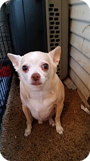 Chihuahua Dog for adoption in TAHOKA, Texas - SYDNEE