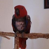 Adopt A Pet :: Scarlett - Tampa, FL