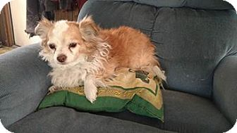 Pomeranian/Chihuahua Mix Dog for adoption in Cedaredge, Colorado - Little Man