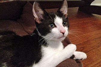 Domestic Shorthair Cat for adoption in Durham, North Carolina - Arnie