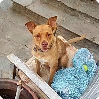 Adopt A Pet :: Spencer - Courtesy Posting - Burbank, CA