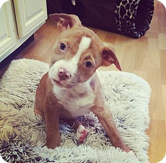Labrador Retriever/Boxer Mix Puppy for adoption in Memphis, Tennessee - Addie