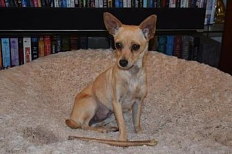 Chihuahua Dog for adoption in Fullerton, California - Lilly