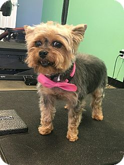 Yorkie, Yorkshire Terrier Mix Dog for adoption in Owensboro, Kentucky - Sasha Fierce