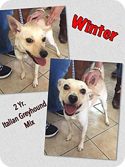 Italian Greyhound Mix Dog for adoption in Middletown, New York - Winter