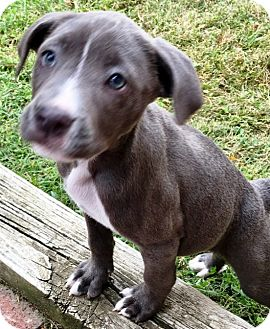American Staffordshire Terrier Mix Puppy for adoption in Colmar, Pennsylvania - Diamond