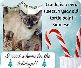 Siamese Cat for adoption in Mansfield, Texas - Candy