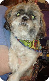 Shih Tzu Dog for adoption in Melrose, Florida - Zoe