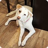 Labrador Retriever Mix Dog for adoption in ST LOUIS, Missouri - Momma