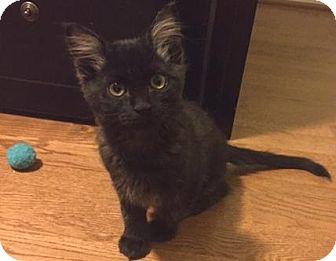 Domestic Mediumhair Kitten for adoption in Springfield, Oregon - Sasha