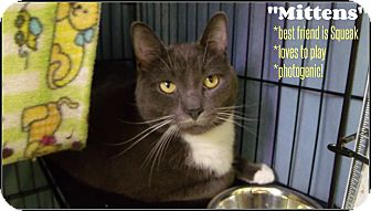 Domestic Shorthair Cat for adoption in Muskegon, Michigan - mittens