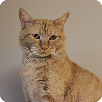 Domestic Shorthair Cat for adoption in Naperville, Illinois - Fred