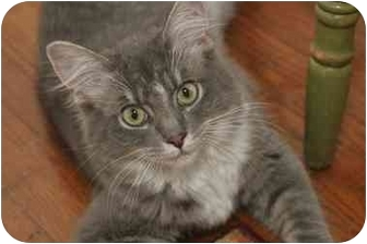 Domestic Mediumhair Kitten for adoption in Chicago, Illinois - Aster