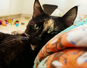 Domestic Shorthair Cat for adoption in Santa Ana, California - Calliope (Courtesy Listing)