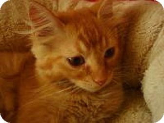 Maine Coon Kitten for adoption in Bridgeton, Missouri - Alf-Adoption Pending
