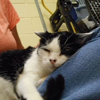 Domestic Shorthair Cat for adoption in Trenton, New Jersey - Faithful