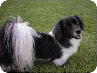 Shih Tzu/Dachshund Mix Dog for adoption in Muldrow, Oklahoma - Pepe