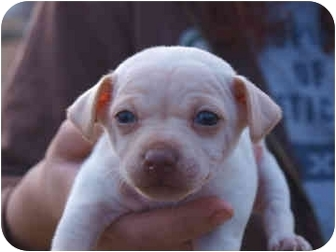 Chihuahua Mix Puppy for adoption in Reno, Nevada - South