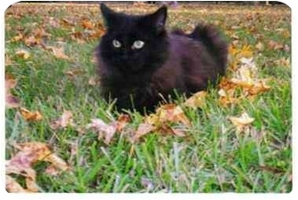 Domestic Longhair Cat for adoption in Walterboro, South Carolina - Trust & Pixie Dust